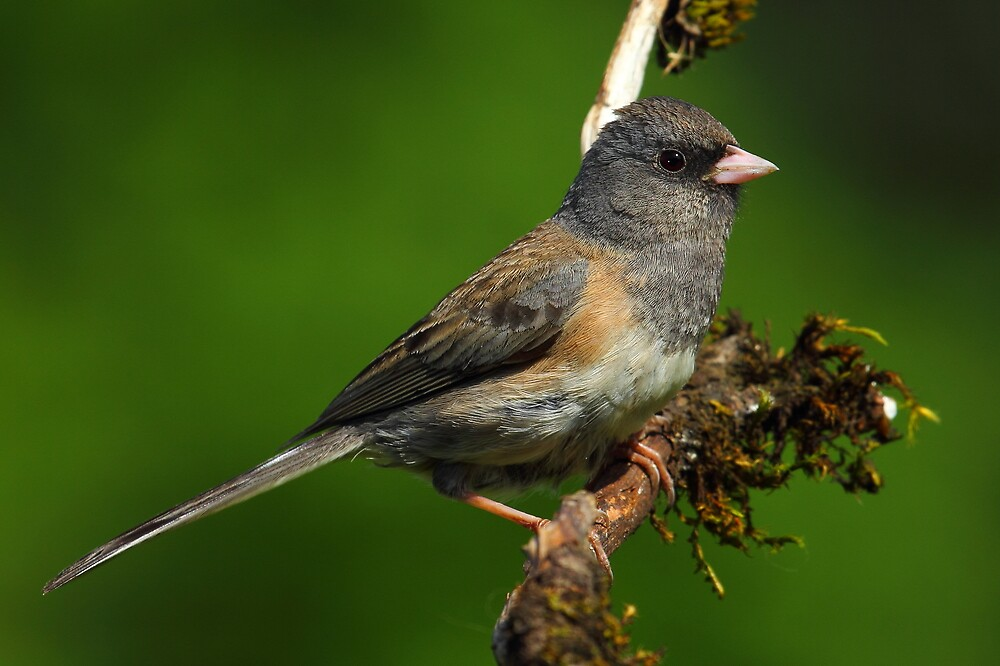 Junco by RandyHume