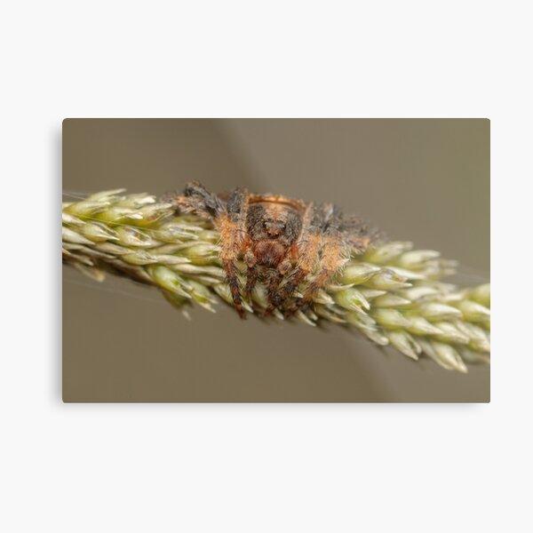 Wraparound spider - Dolophones sp. Metal Print