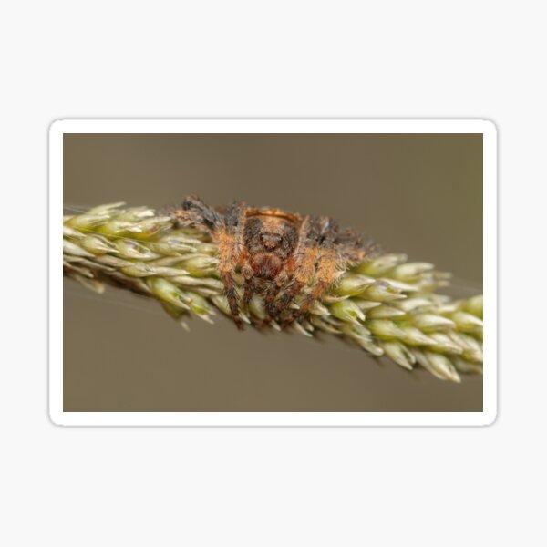 Wraparound spider - Dolophones sp. Sticker