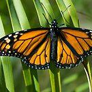 Monarch by zzsuzsa
