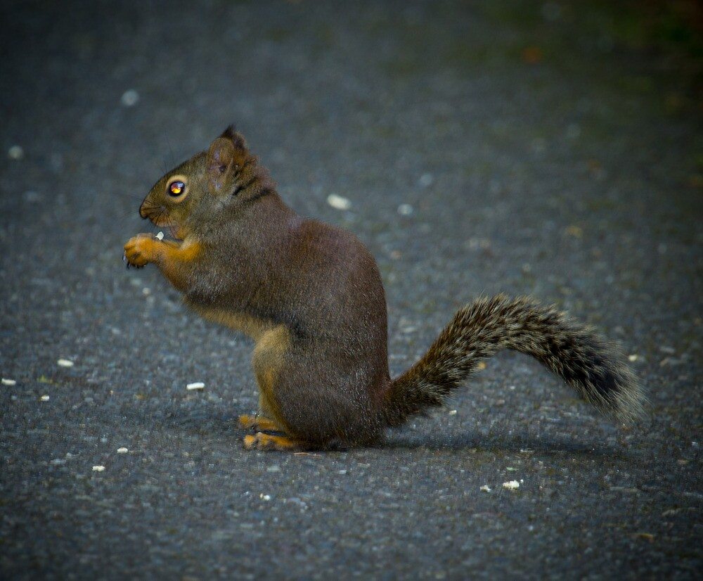 Squirrel by RandyHume