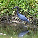 Little blue heron by Kate Farkas