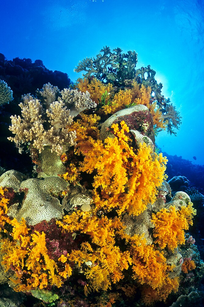 Osprey Reef coral reef scene by David Wachenfeld