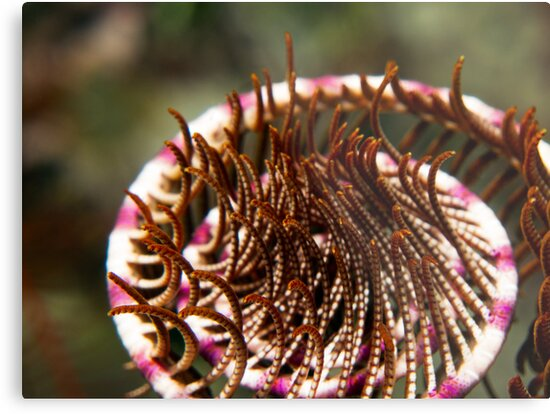 Crinoid Curl by James Deverich