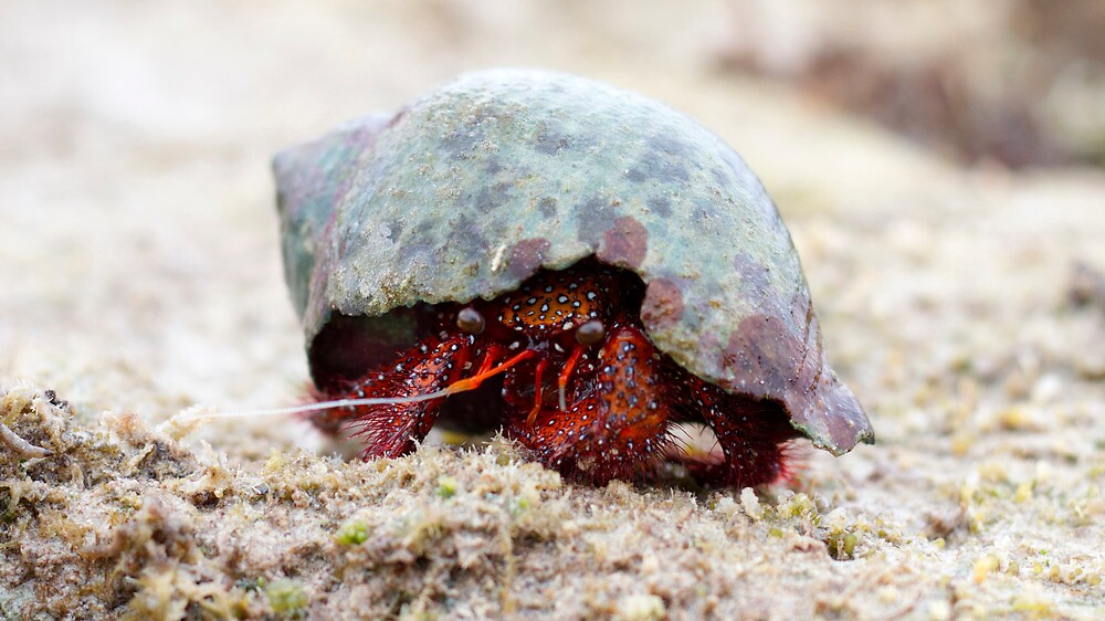 Red Hermit Crab by Romandar