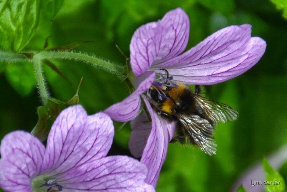 Bee On Lilac Wild Geranium by lynn carter