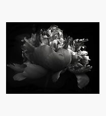 Shades of a Peony Photographic Print