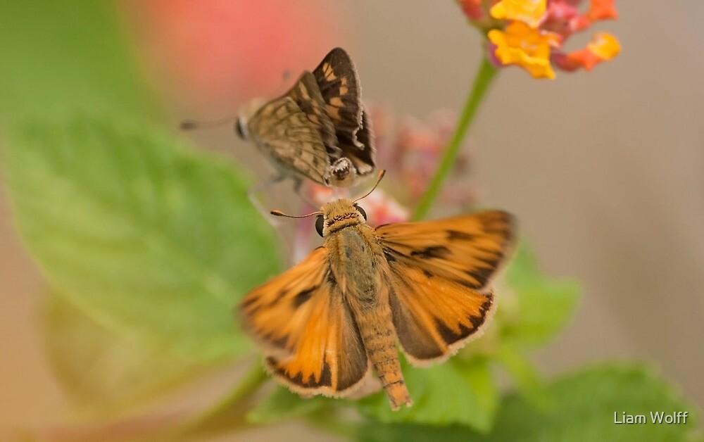 Fiery Skipper (Hylephila phyleus) by Liam Wolff