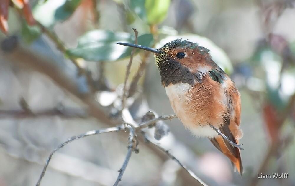 Allen's Hummingbird (Selasphorus sasin) by Liam Wolff