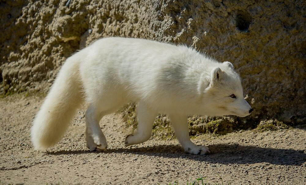 Arctic Fox by RandyHume