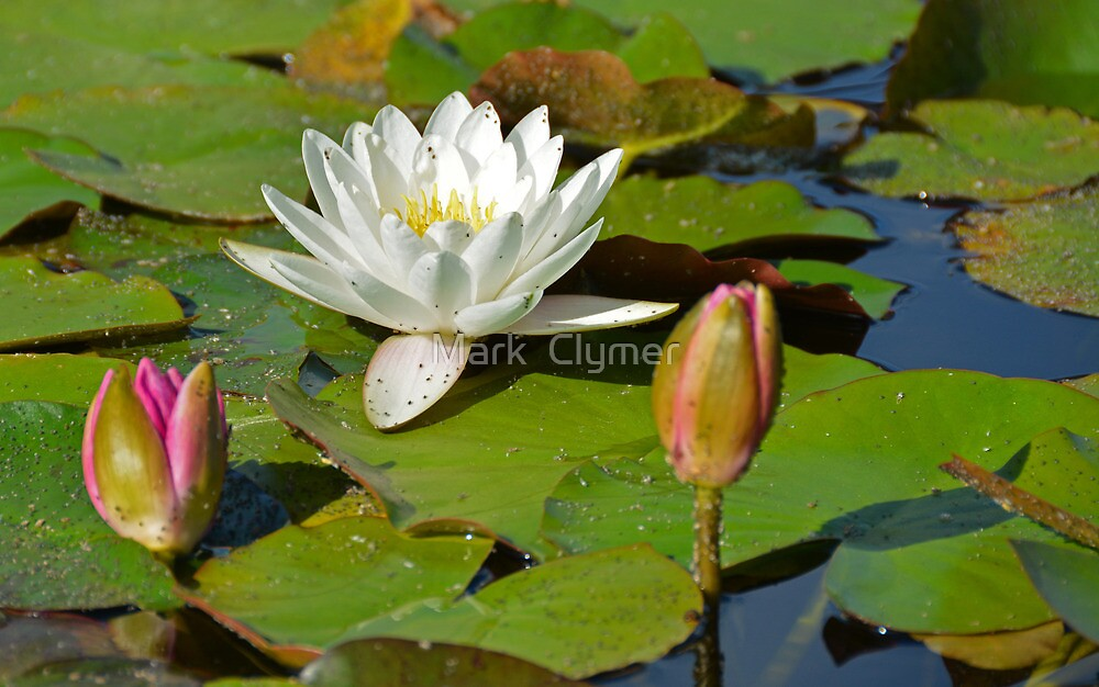 Water Lilies II by Mark  Clymer