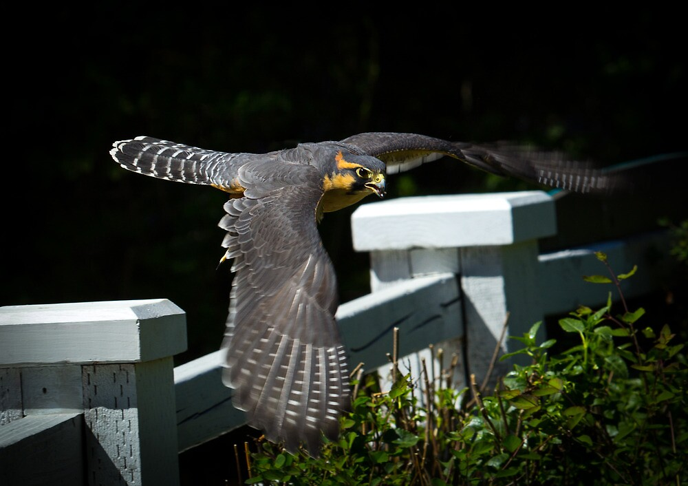 Aplomado falcon by RandyHume
