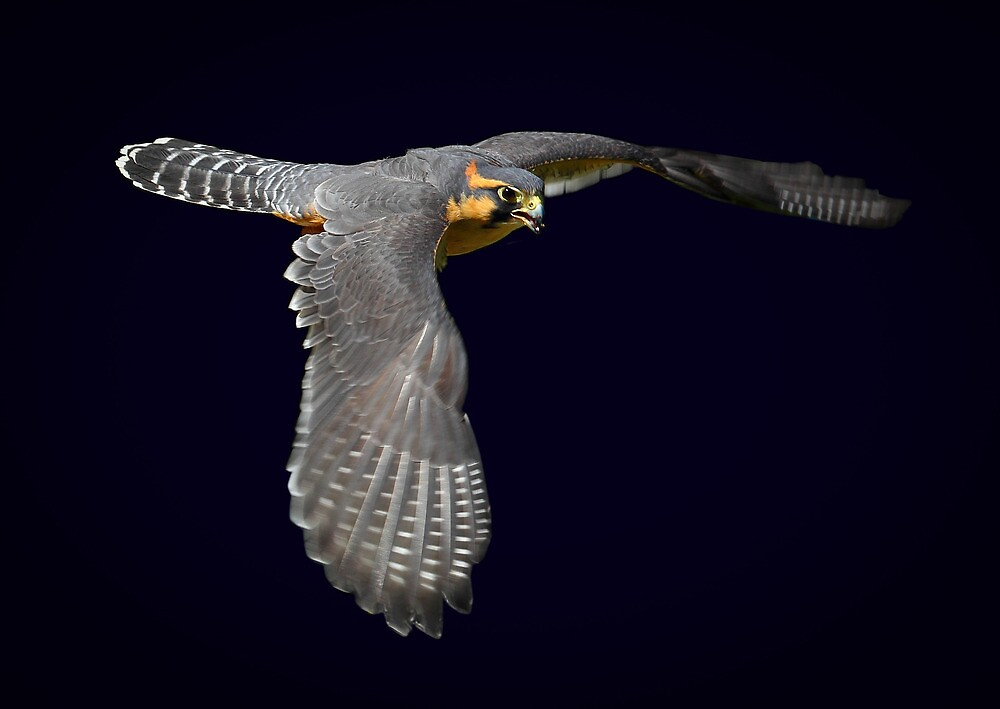 Aplomado falcon on dark background by RandyHume