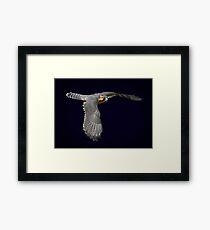 Aplomado falcon on dark background Framed Print