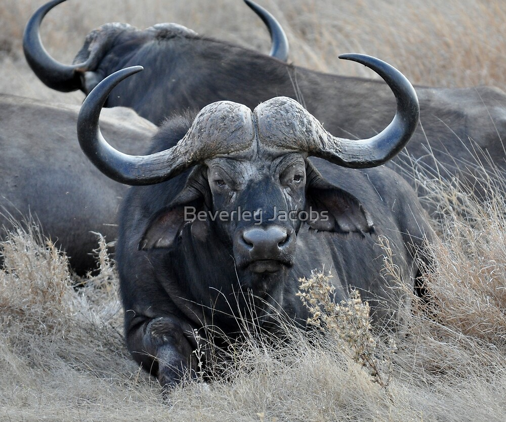 Cape Buffalo by Beverley Jacobs