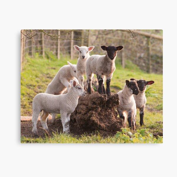 Lambs playing Canvas Print