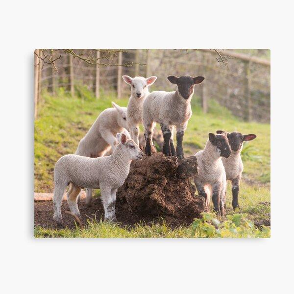 Lambs playing Metal Print
