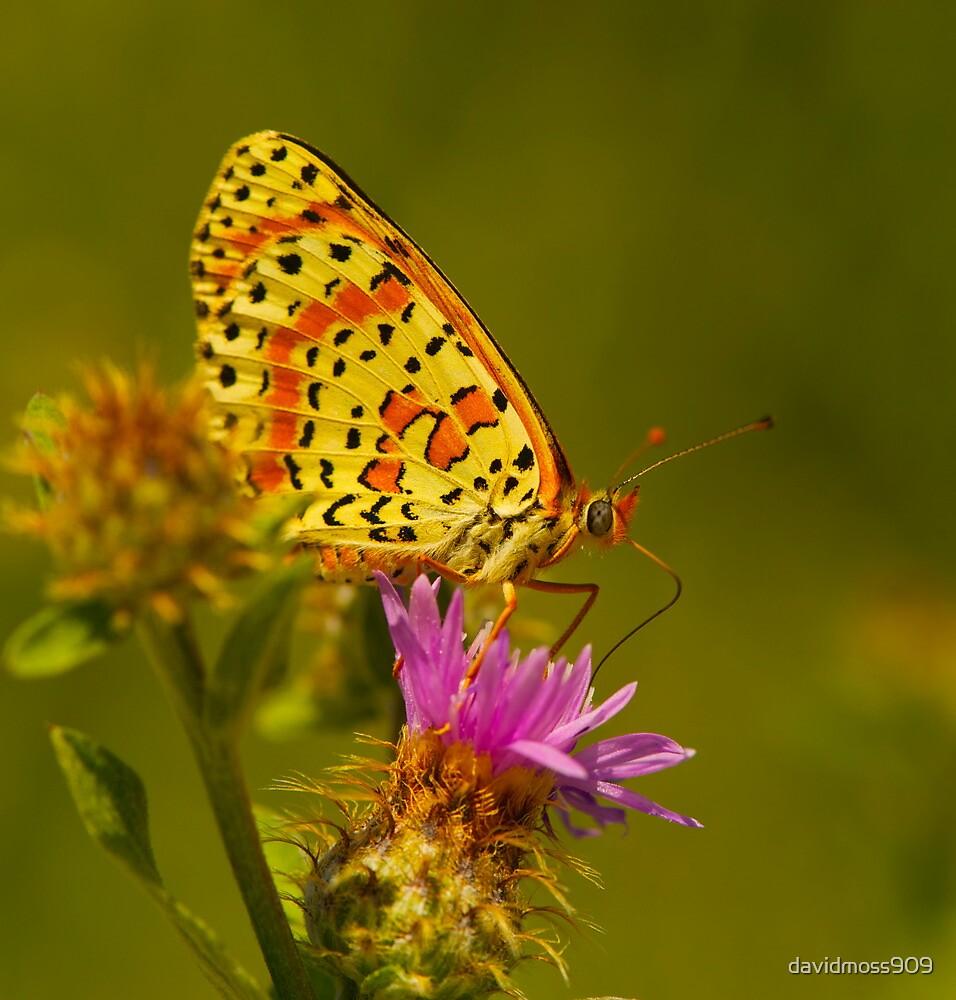 Beautiful Butterfly by davidmoss909
