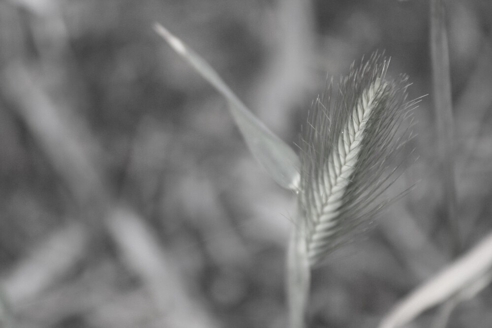 wheat by Kylie Epskamp