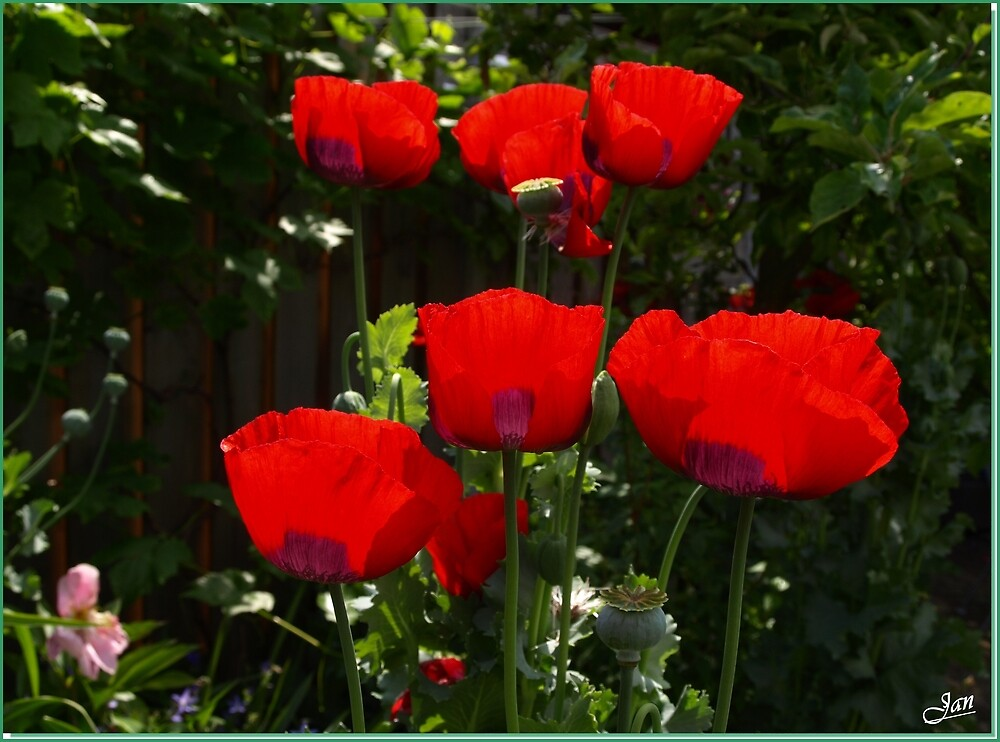 Poppy Time. by Janone
