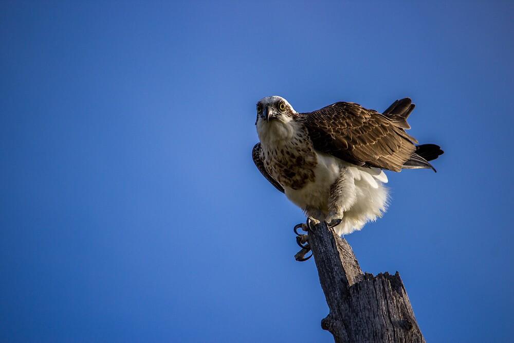 Osprey by Chris Kean