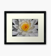 White Water-lily  Framed Print