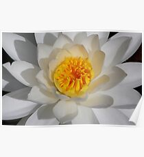 White Water-lily  Poster