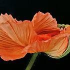 Orange Poppy by DavidROMAN