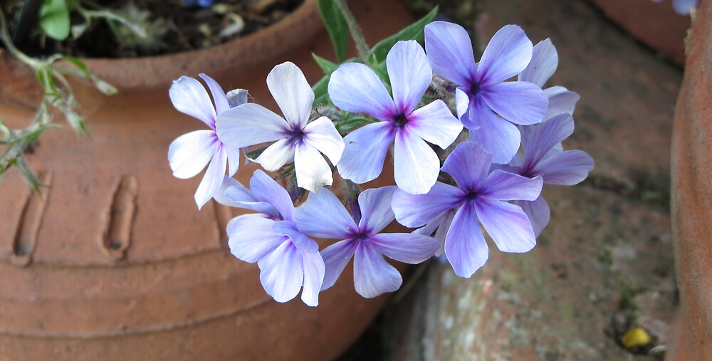 Phlox in an English Garden by TheOkapi