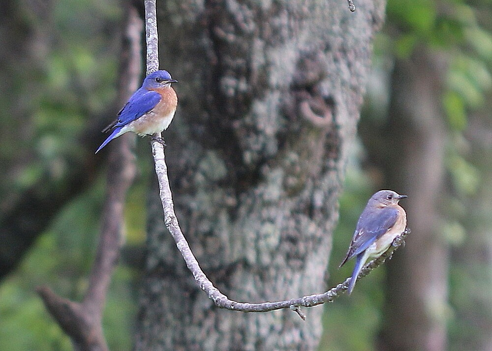 Blue Birds....Just Hanging Out by MaryAnneW