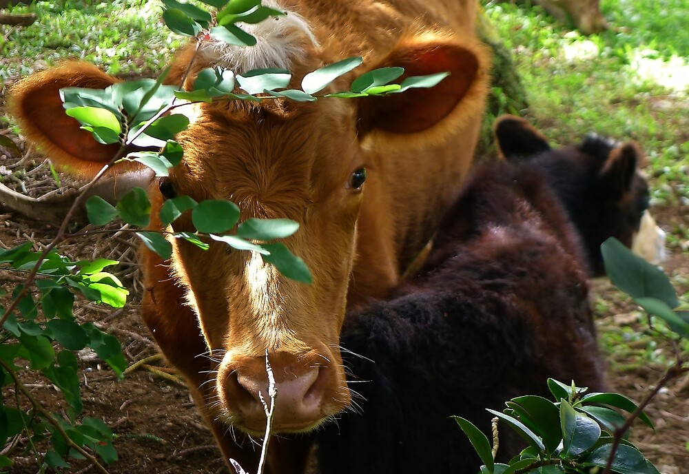 Cows by Barbara Morrison