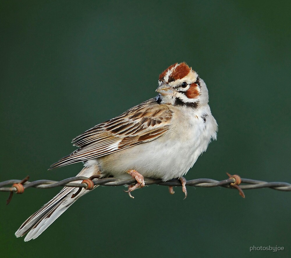 Lark Sparrow by photosbyjoe