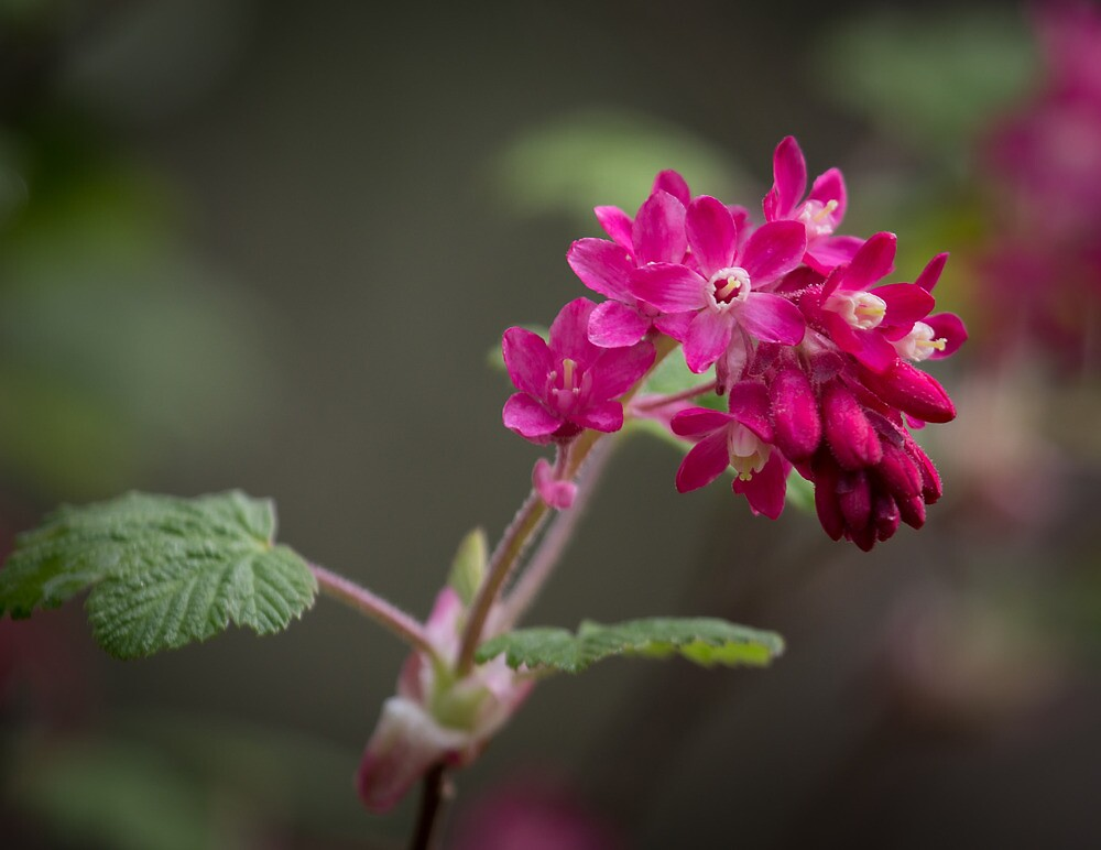 Red Currant Flowers by RandyHume