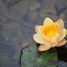 Miniature Waterlily by Cathy Jones