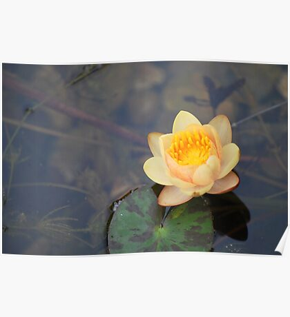 Miniature Waterlily Poster