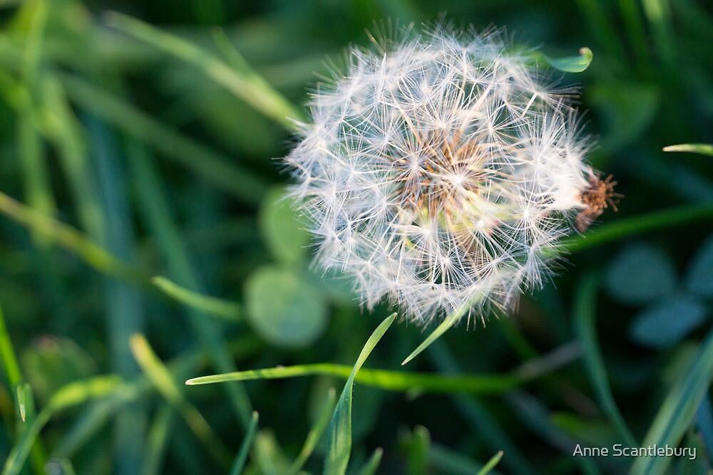 dandelion by Anne Scantlebury