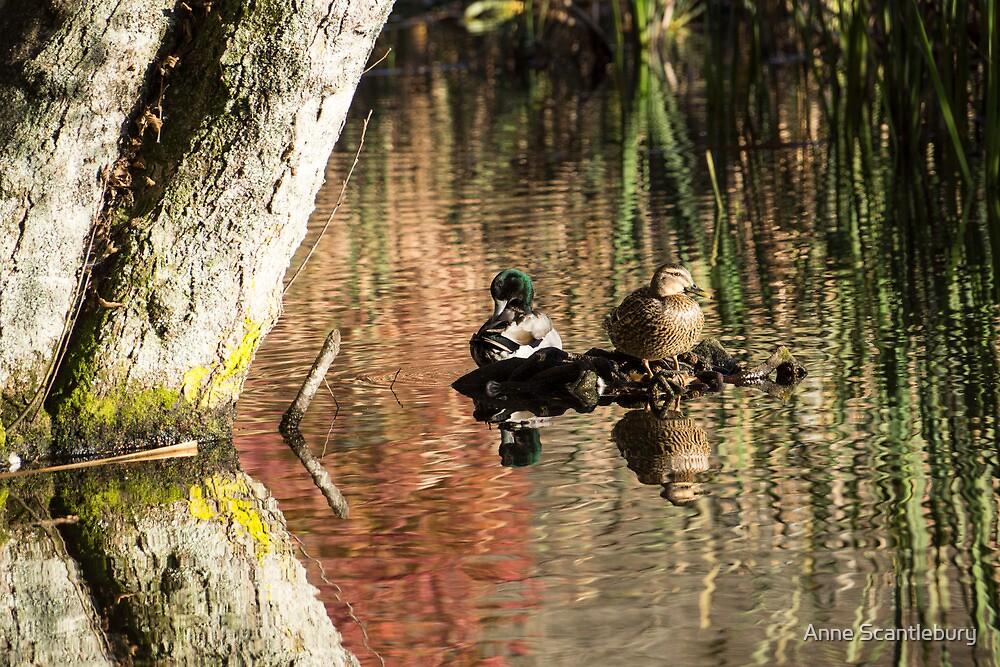 ducks by Anne Scantlebury