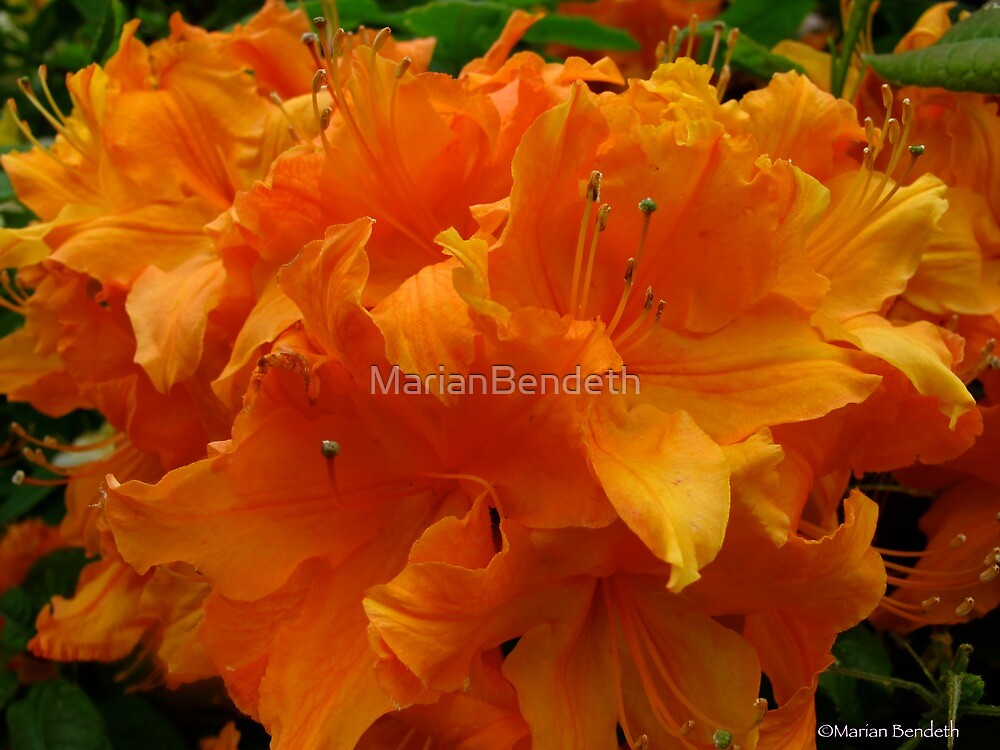 Fireburst Rhododendrons by MarianBendeth