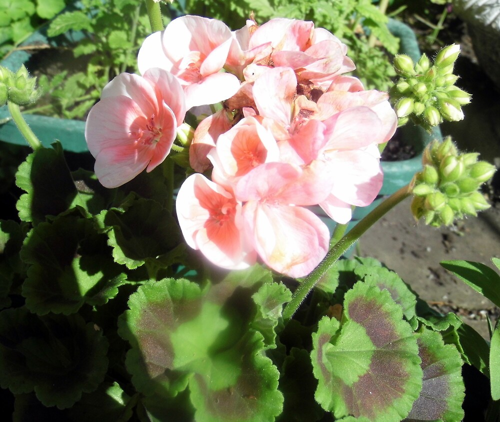one of my geraniums by margaret hanks