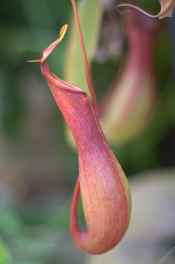 Pitcher Plant. by Tinglis