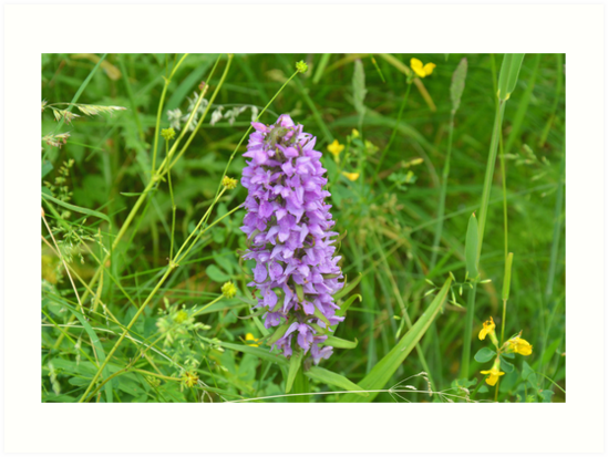 The Southern Marsh-orchid by walstraasart