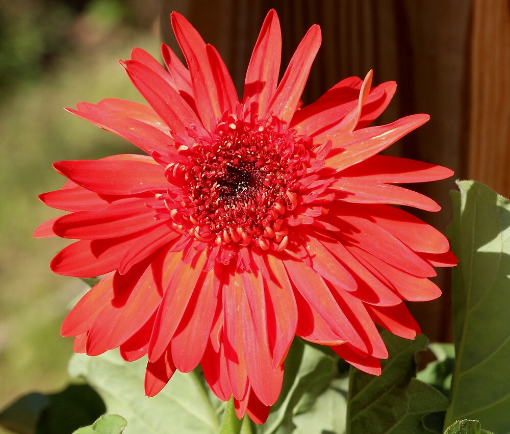 Gerber Daisy by MaryAnneW