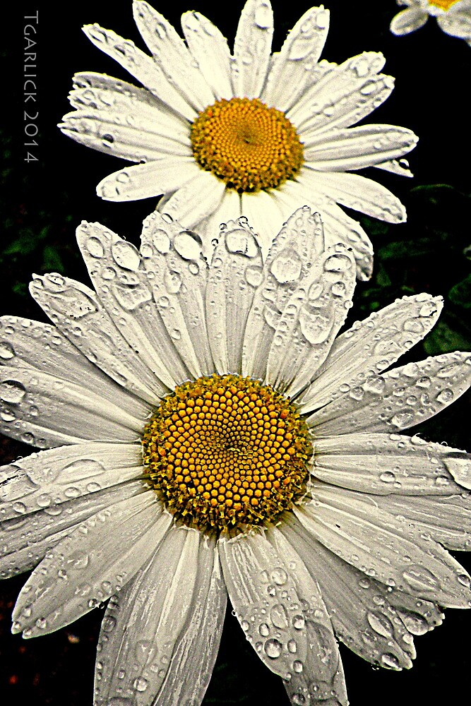 daisy tears by Tgarlick