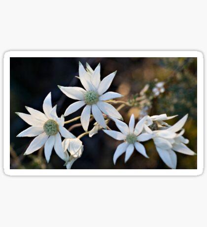 Wildflowers of the Blue Mountains - Sydney Flannel Flower Sticker