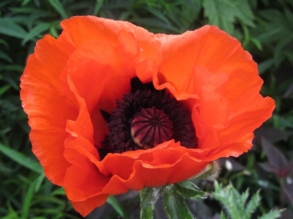Poppy by Cath Baker