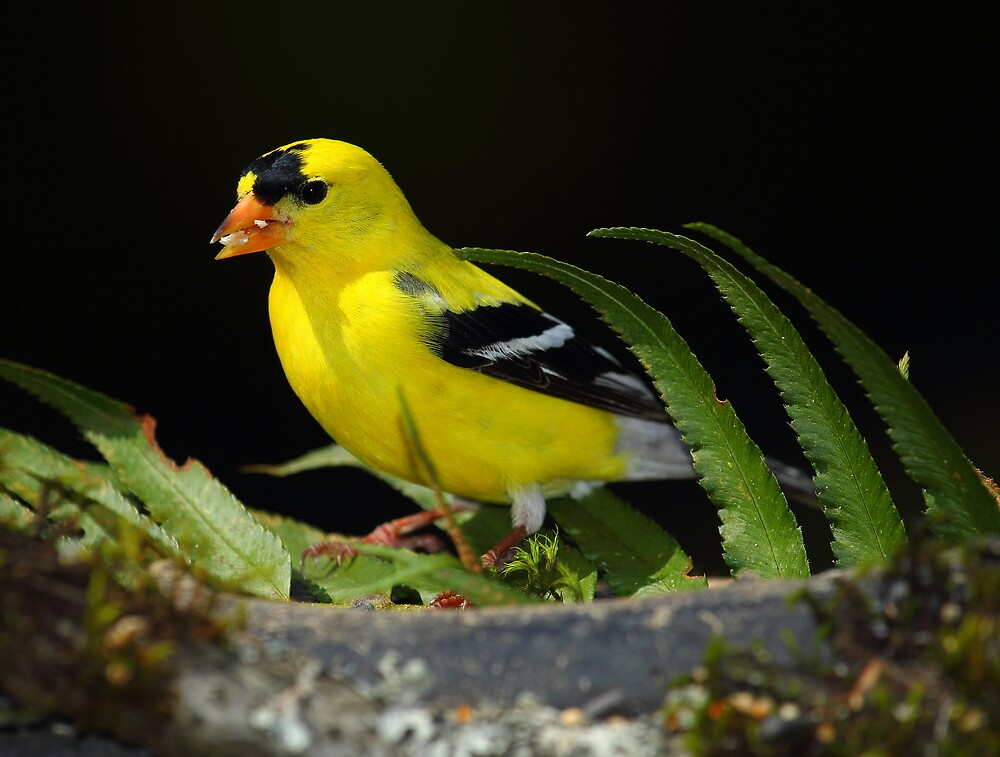 Male Goldfinch by RandyHume
