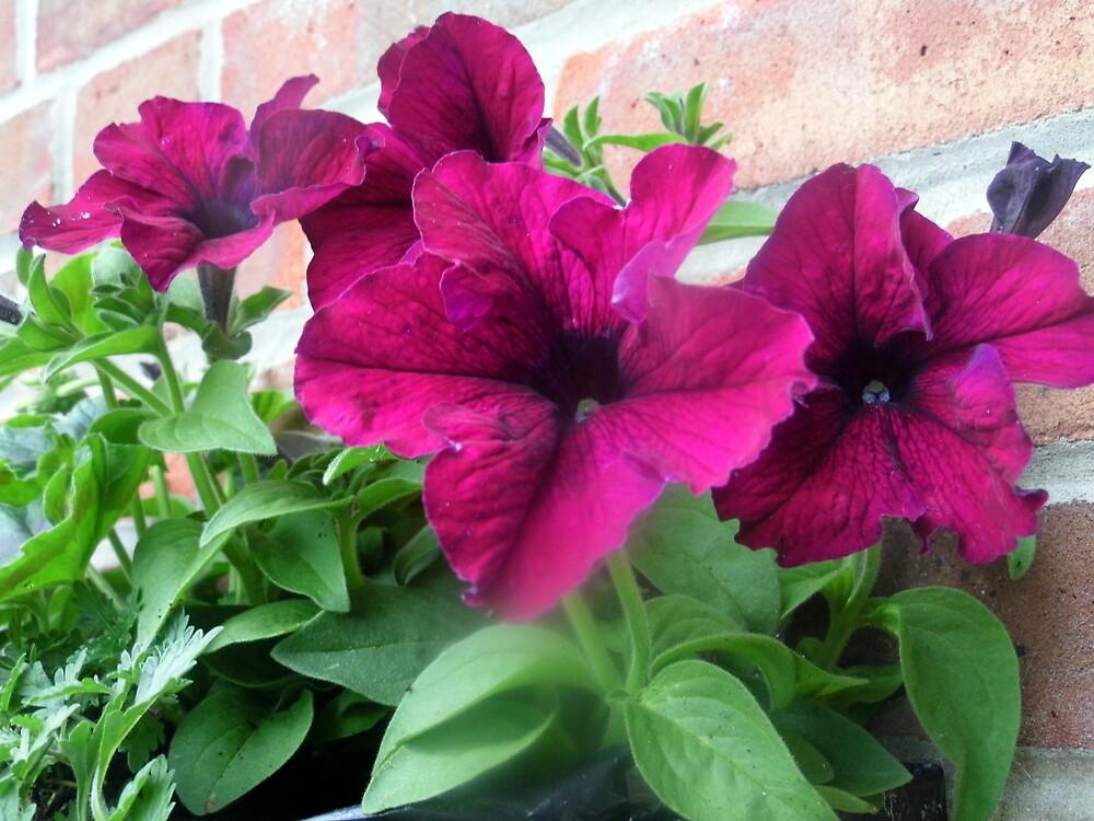 petunias in bloom by margaret hanks