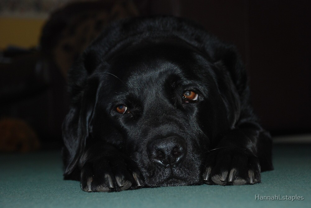 Moody Labrador by HannahLstaples