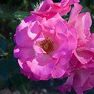 Pink Rose 2 by Sheryl Marshall
