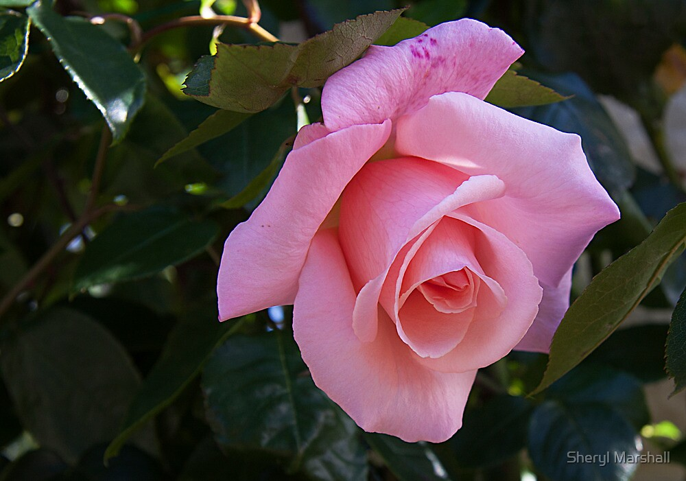 Pink Rose 3 by Sheryl Marshall